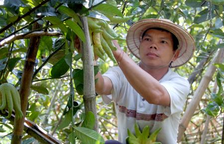 Anh Nghi chăm sóc vườn cây phật thủ của gia đình