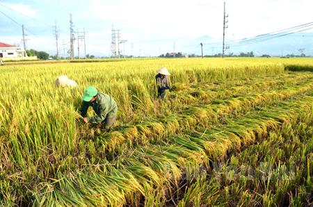 Không khí tích cực thu mùa làm đông của nông dân Văn Chấn.