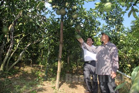 Yên Bình đã hình thành và phát triển rõ nét vùng cây ăn quả có múi. (Ảnh: Cán bộ Phòng Nông nghiệp và Phát triển nông thôn huyện kiểm tra vườn bưởi Diễn xã Bạch Hà.)