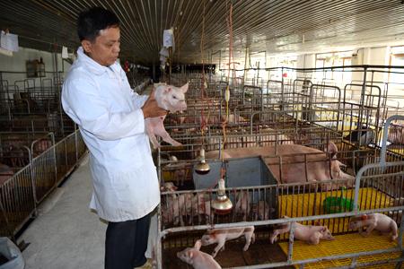 Lãnh đạo Công ty TNHH Đầm Mỏ kiểm tra chất lượng lợn giống.