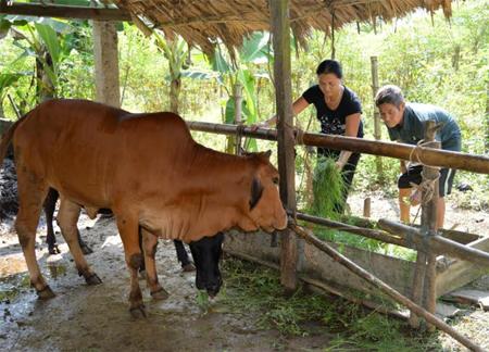 Ông Tho cùng vợ chăm sóc bò.
