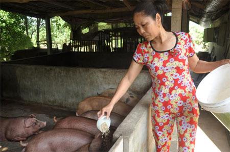 Đầu tư nuôi lợn giúp gia đình ông Trần Quảng Long có thu nhập khá.