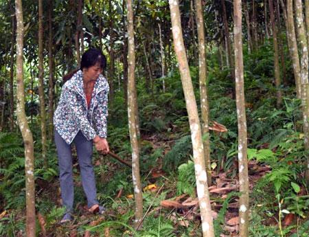 Chị Hoàng Thị Hường thường phát cỏ thủ công đối với diện tích 8 ha quế.
