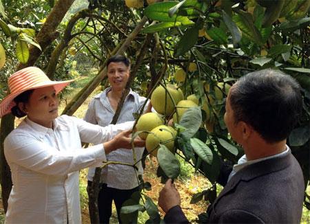 Phát triển cây ăn quả có múi mang lại thu nhập cao cho nông dân xã Hưng Thịnh. (Ảnh: P.V)