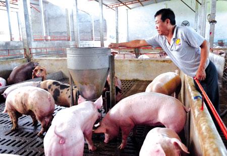 Các hộ nông dân và cơ sở chăn nuôi lợn cần tập trung cao độ theo dõi diễn biến phức tạp, bệnh dịch trên đàn lợn. (Ảnh minh họa)