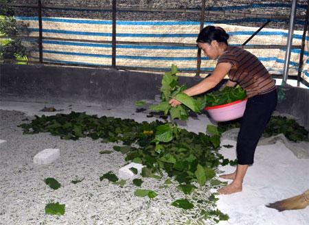 Chị Hoàng Kim Thức ở thôn Cá Nội cho tằm ăn.
