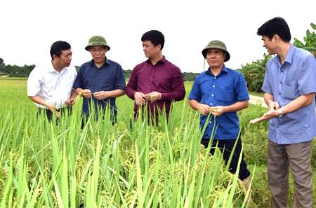 Các đồng chí lãnh đạo tỉnh, Sở Nông nghiệp và Phát triển nông thôn kiểm tra năng suất lúa mùa.