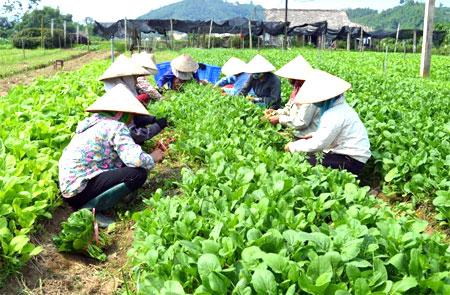 Thu hoạch rau màu tại HTX Nông nghiệp và Dịch vụ Phú Đạt, huyện Văn Yên.