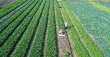 Sản xuất rau an toàn tại Hợp tác xã Nông nghiệp và Dịch vụ Phú Đạt. (Ảnh: Thanh Miền)