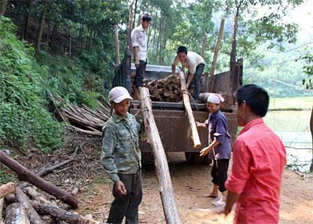 Người dân xã Yên Thành khai thác gỗ rừng trồng.