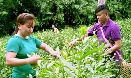 Nông dân xã Bảo Hưng, huyện Trấn Yên thu hái chè xanh.
