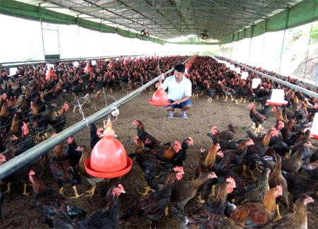 Mô hình chăn nuôi gà theo hướng hàng hóa của gia đình anh Nguyễn Tiến Sơn ở xã Minh Quán mang lại hiệu quả kinh tế cao.