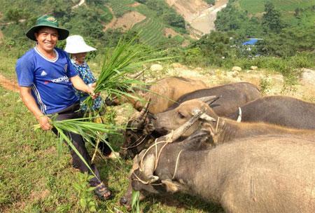 Vàng A Rùa cùng vợ chăm sóc đàn trâu.