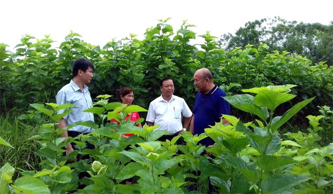 Lãnh đạo huyện Văn Yên kiểm tra mô hình trồng dâu nuôi tằm tại xã Xuân Ái.