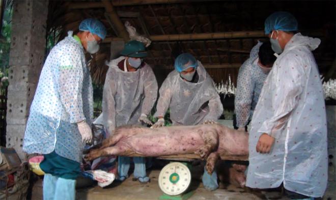 Huyện Lục Yên hỗ trợ cho các hộ bị thiệt hại do dịch tả lợn châu Phi.
