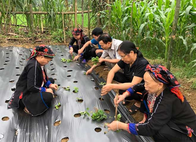 Chuyên gia của Trung tâm Phát triển khoa học công nghệ và Chăm sóc sức khỏe cộng đồng tỉnh Yên Bái hướng dẫn người dân xã Bảo Ái, huyện Yên Bình trồng cây cà gai leo.