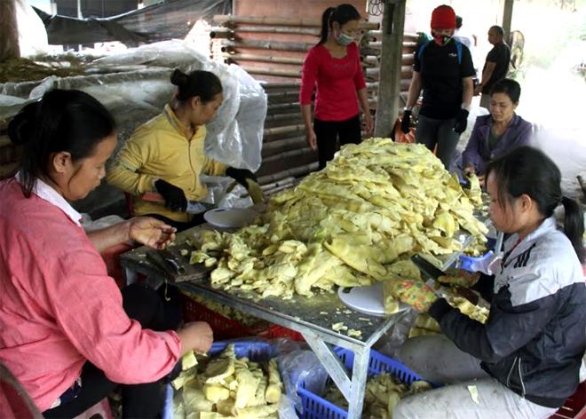 Sơ chế măng Bát độ ở Hợp tác xã Dịch vụ tổng hợp Kiên Thành, huyện Trấn Yên.