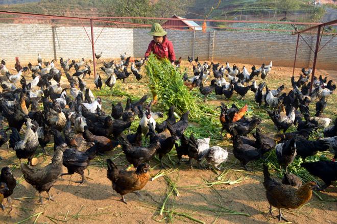 Nuôi gà đen giống bản địa - mô hình gia trại được nông dân vùng cao lựa chọn phát triển kinh tế.