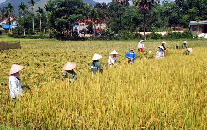 Vụ mùa 2019, năng suất lúa huyện Yên Bình dự ước đạt 51,35 tạ/ha.