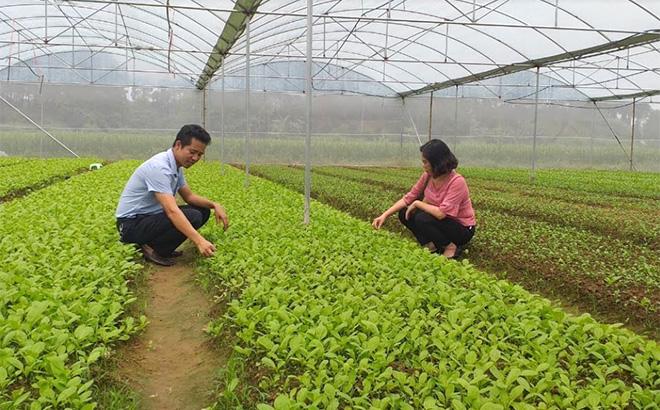 Sản xuất rau vụ đông trong nhà lưới mang lại hiệu quả kinh tế cao ở xã Y Can.