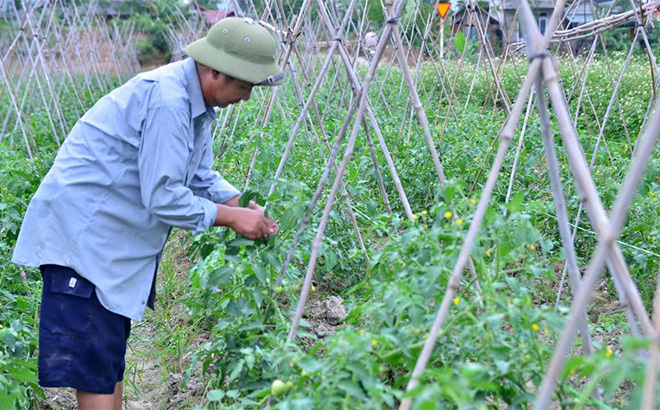 Tomato is the winter crop with high economic efficiency.