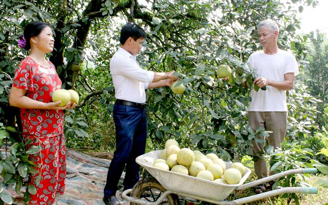 Nhiều năm trở lại đây, bưởi đặc sản đã trở thành cây trồng chủ lực, đem lại thu nhập cao cho người dân xã Đại Minh.