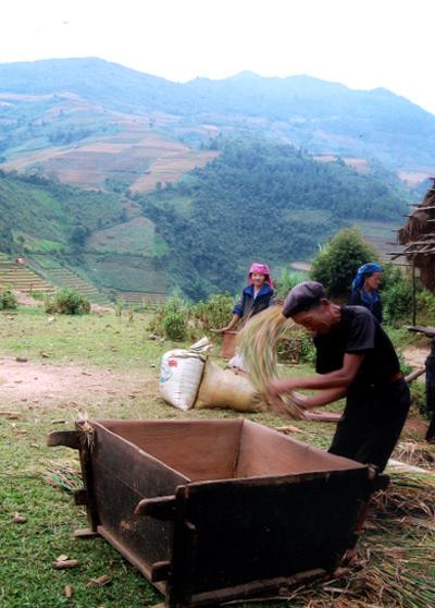 Đồng bào Mông Cao Phạ thu hoạch lúa.
