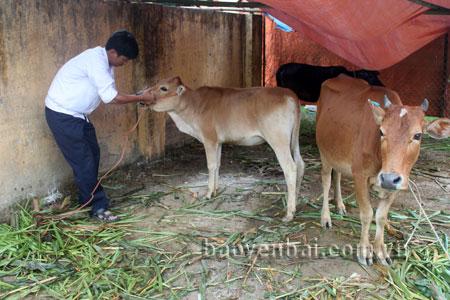 Cán bộ Trạm Thú y huyện Trạm Tấu kiểm tra sức khỏe trên đàn gia súc.