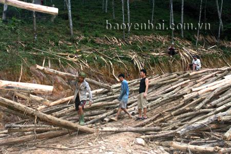 Nhờ phát triển kinh tế rừng, nhiều hộ dân xã Yên Thành đã có thu nhập ổn định.