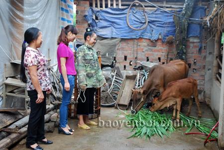 Chị Hà Thị Toán thôn Bản Đường, xã Thạch Lương chăm sóc bò sinh sản do Dự án Giảm nghèo giai đoạn 2 hỗ trợ.