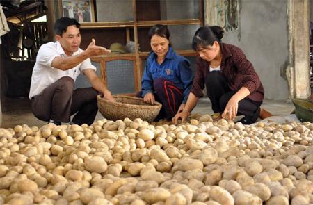 Chủ tịch UBND xã Yên Hợp - Bùi Xuân Thành kiểm tra chất lượng khoai tây.