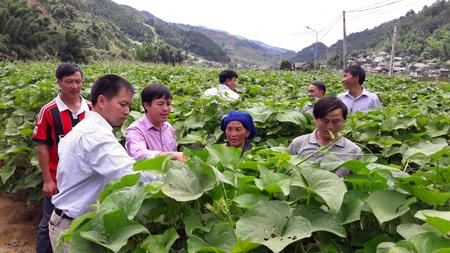 Cán bộ Phòng Nông nghiệp và Phát triển nông thôn huyện Mù Cang Chải kiểm tra mô hình trồng su su lấy ngọn của các hộ dân tham gia Dự án.