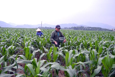 Nông dân huyện Văn Yên chăm sóc ngô đông.
