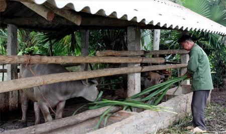 Người dân chủ động gia cố chuồng trại và thức ăn cho đàn gia súc trong mùa đông.