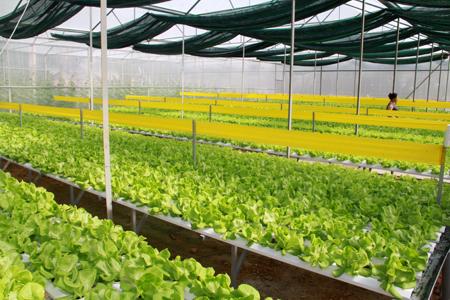 Mô hình sản xuất rau bằng phương pháp thủy canh tại thôn Bảo Thịnh, xã Minh Bảo, thành phố Yên Bái.