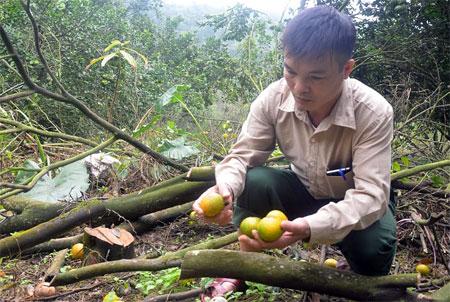 Ông Tạ Quốc Bảo ở thôn 6, xã Khánh Hòa, huyện Lục Yên chặt bỏ những cây cam bị chết do vàng lá, thối rễ.