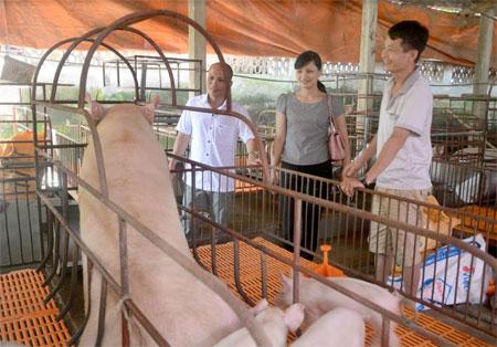 Một mô hình chăn nuôi lợn mang lại hiệu quả kinh tế cao của nông dân huyện Yên Bình.