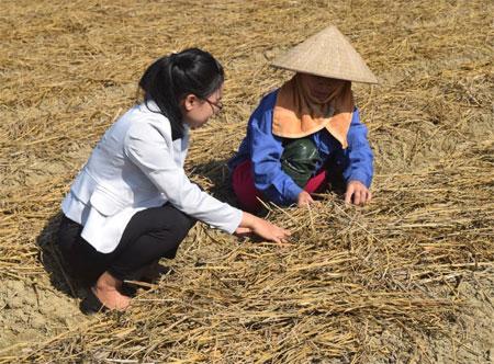 Cán bộ Trung tâm Dịch vụ hỗ trợ phát triển nông nghiệp thành phố Yên Bái hướng dẫn chị Phạm Thị Nguyên cách phủ rơm rạ lên mặt luống trồng khoai tây.