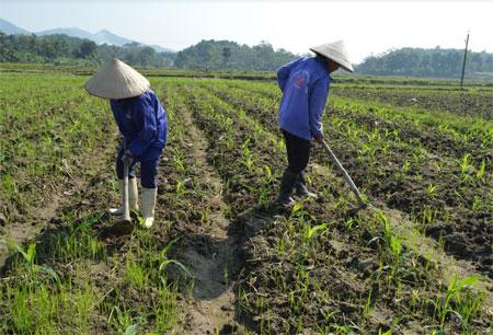 Nông dân xã Yên Bình chăm sóc ngô đông.