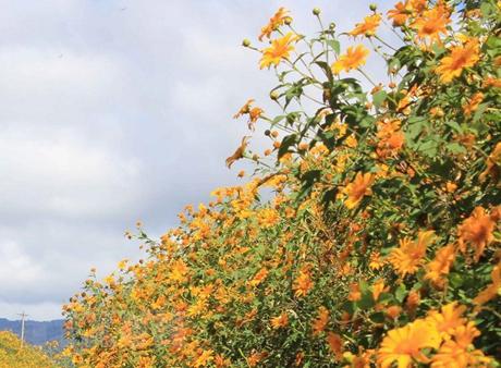 Sắc vàng rực rỡ của hoa dã quỳ.