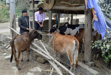Cán bộ xã Khao Mang hướng dẫn người dân nuôi nhốt, dự trữ thức ăn cho gia súc.