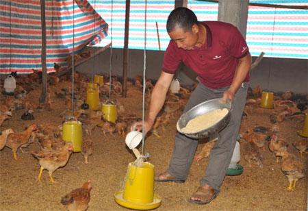 Anh Hà đang chăm sóc gà.