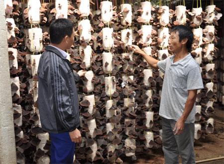 Mô hình trồng nấm của hội viên nông dân Nguyễn Thành Luân ở thôn Trực Bình 2, xã Minh Bảo.