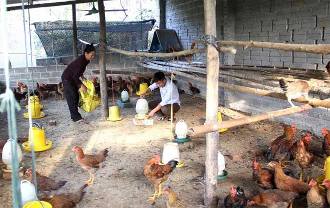 Anh Nguyễn Thành Luân chăm sóc, tiêm vắc - xin phòng, chống dịch bệnh cho gà giống mới mua về.