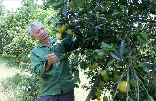 Ông Lê Văn Sơn bên những gốc cam chanh sai trĩu quả.