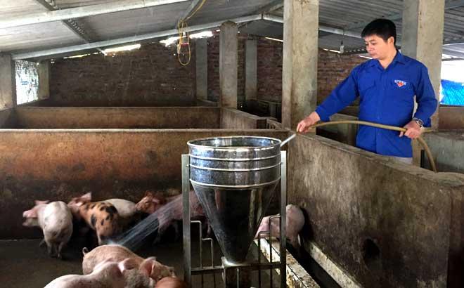 Hoàng Văn Vĩnh, thôn Phán Thượng, xã Nghĩa Lợi chăm sóc đàn lợn hiện có.