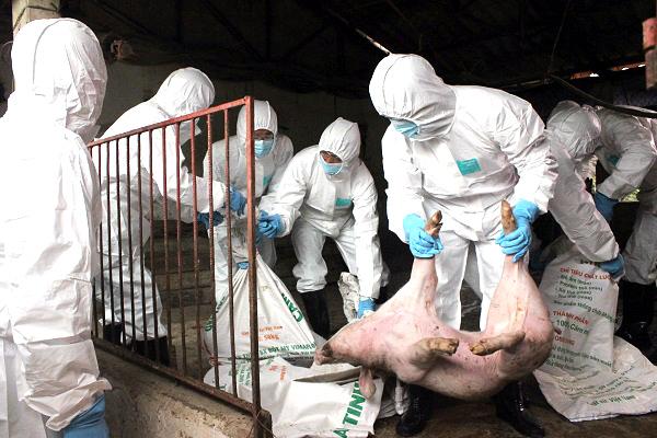 Tiêu hủy lợn bị dịch tả châu Phi trên địa bàn Hà Nội - Ảnh: Báo Kinh tế Đô thị
