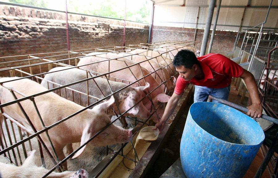 Nông dân chăm sóc đàn lợn với mô hình nuôi bằng thảo dược để xuất chuồng phục vụ Tết Nguyên đán sắp tới.