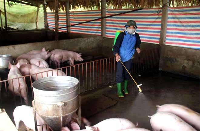 Phun tiêu độc khử trùng môi trường phòng chống dịch tả lợi châu Phi ở Văn Tiến, huyện Trấn Yên. (Ảnh Minh Huyền)