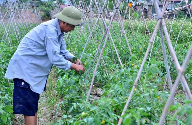 Nông dân phường Cầu Thia chăm sóc cây cà chua vụ đông.